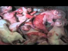 schweine-verletzt